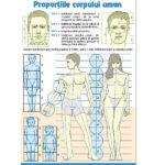 Proporțiile corpului uman / Contrastele cromatice