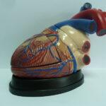 Inima, model gigant din 3 părți, scara 5:1