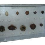 Colecție semințe și fructe de arbori și arbuști