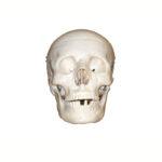 Craniu de mărime naturală din 3 părți, mulaj