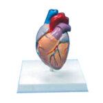 Inima, model din 2 părți, scara 2:1